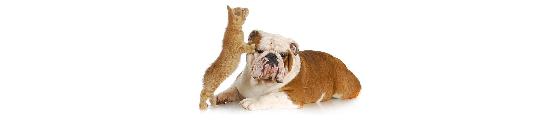 Kitten playing with unamused Bulldog