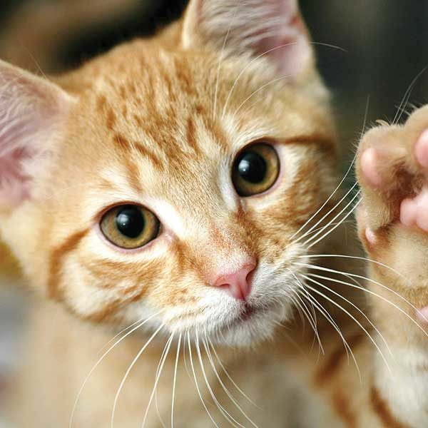 Kitten close up with paw up